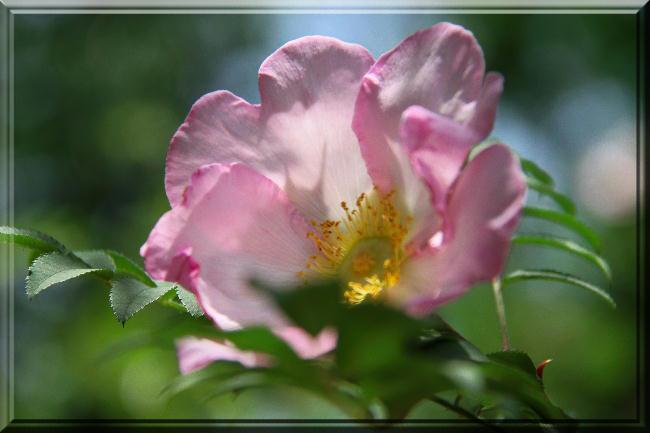 薔薇-20
