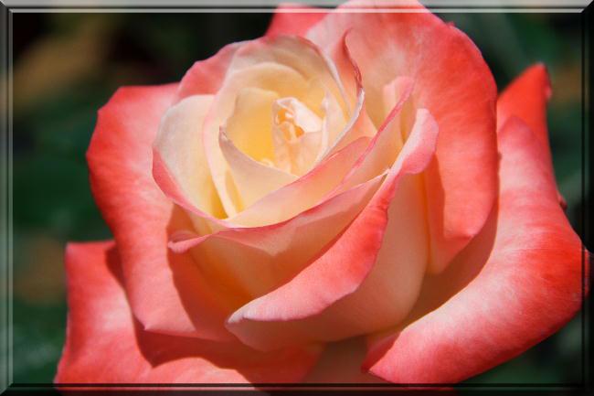 薔薇-22