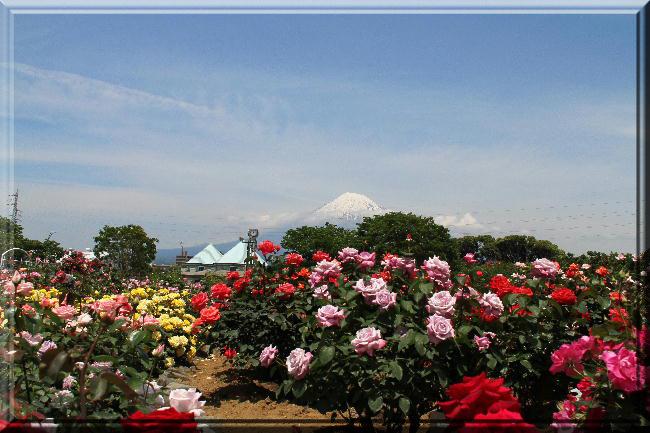 富士山と薔薇-23
