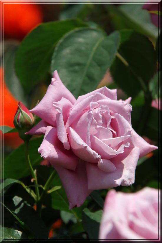 薔薇-23