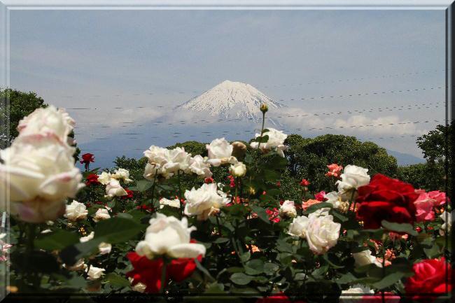 富士山と薔薇-24