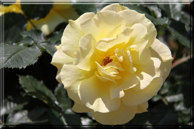 薔薇-24