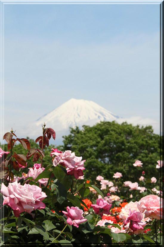 富士山と薔薇-25