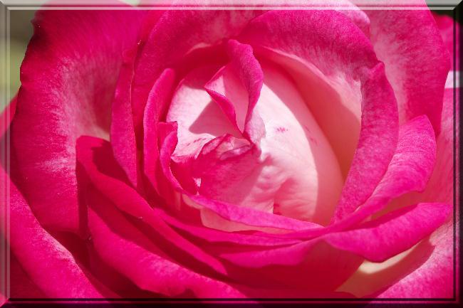 赤い薔薇-26