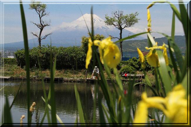 黄アヤメと富士山 5