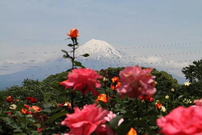 富士山と薔薇2-5.15