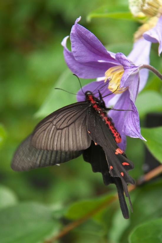 クレマチス-1 黒揚羽蝶