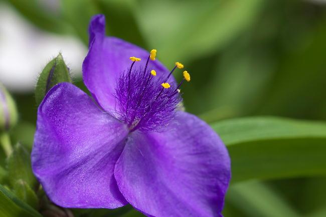 クレマチス-17 紫露草