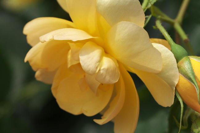 クレマチス-26 黄色いばら