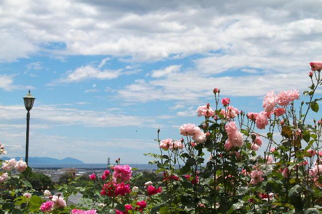 富士広見公園薔薇と海-1