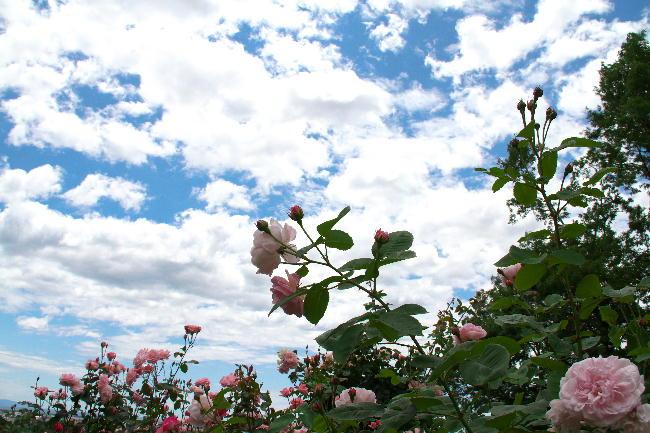 富士広見公園薔薇と空-2