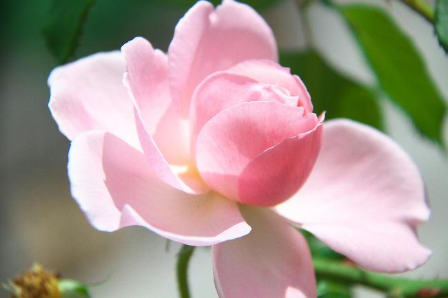 富士広見公園 薔薇-3