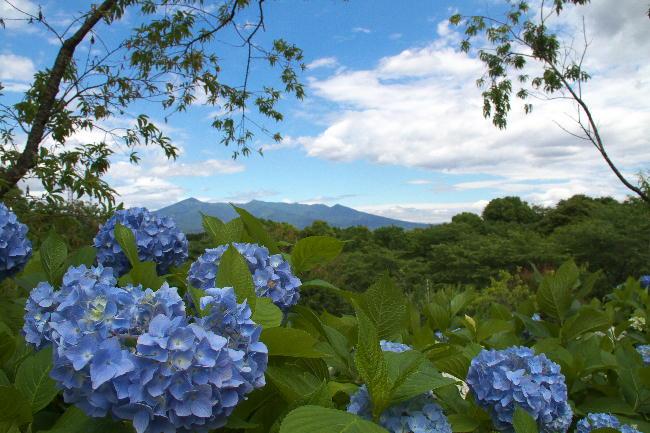 富士 紫陽花と愛鷹山6