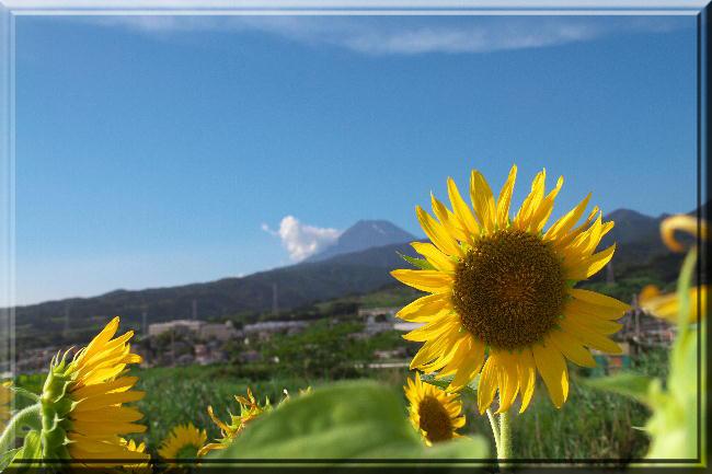 向日葵と富士山-11