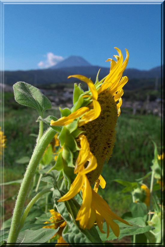 向日葵と富士山-22