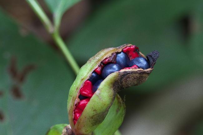 山芍薬の種-1