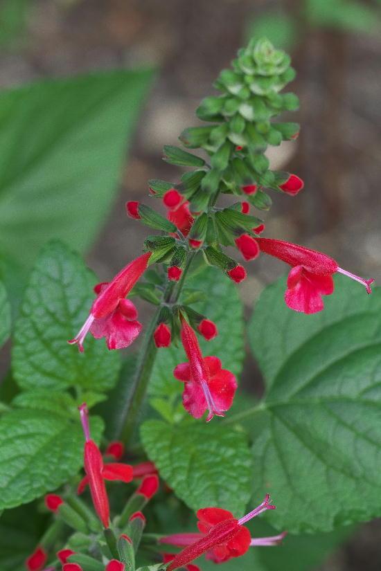 秩父宮別邸-6紅花サルビア