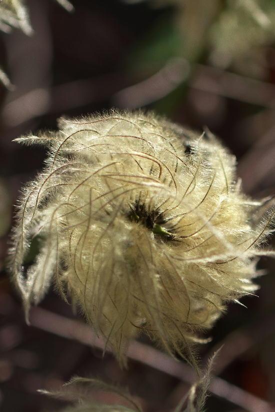 秩父宮別邸-16 クレマチスの綿毛