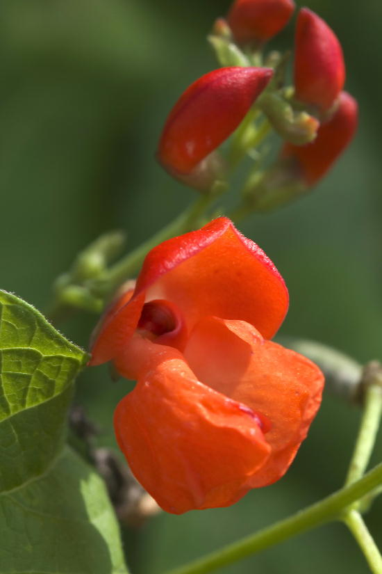 御殿場-7花豆の花