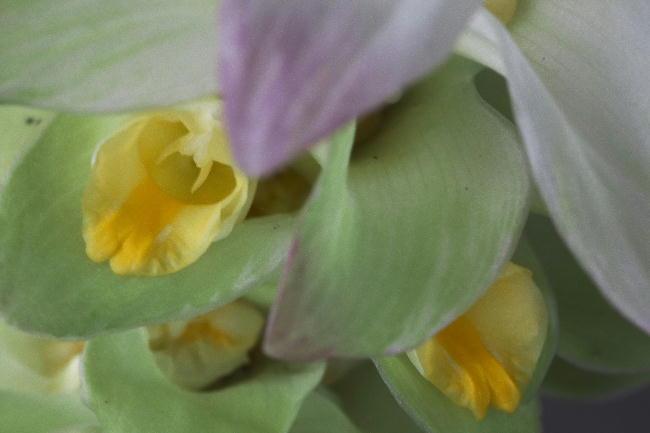 ウコンの花-2
