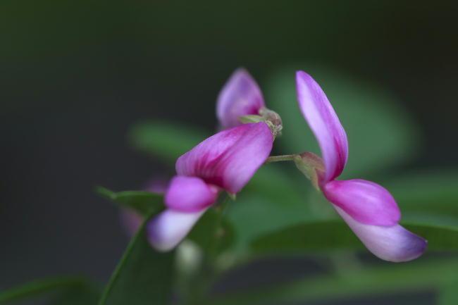 湿性花園-1飛鳥の萩