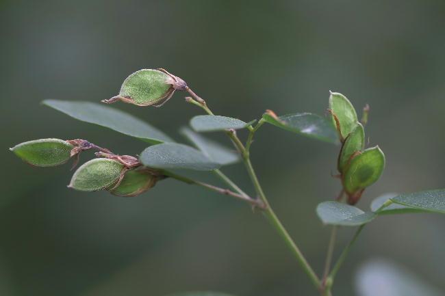 湿性花園-2飛鳥の萩の実