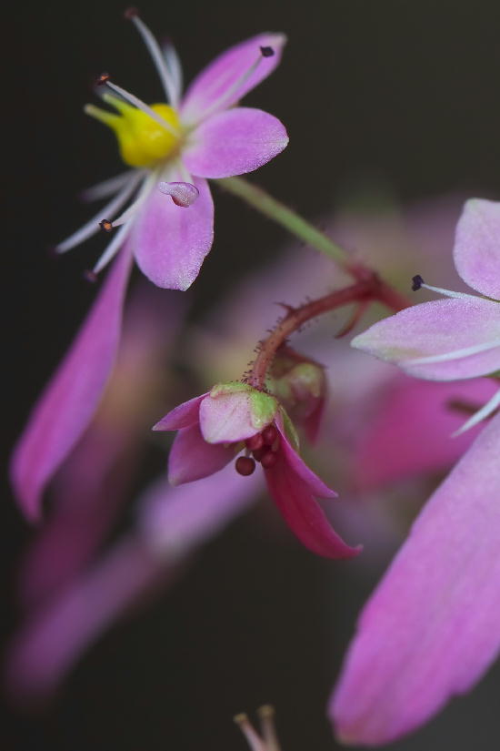 湿性花園-3大文字草