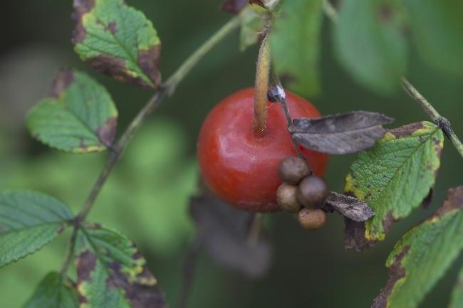 湿性花園-8 ハマナスの実