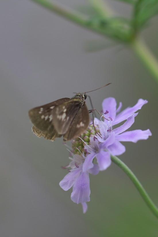 湿性花園-10 マツムシソウ