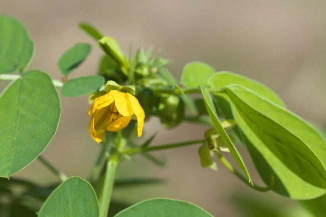 ハブ茶の花