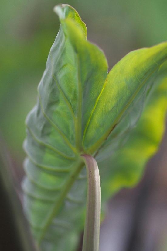 里芋の葉1
