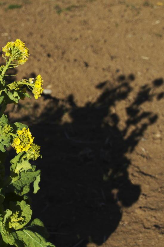 菜の花-5