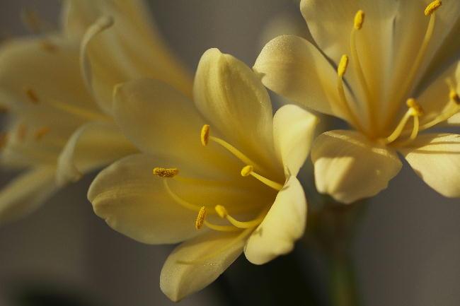 君子蘭-黄色