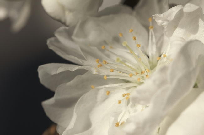 咲き分けの桃白-1