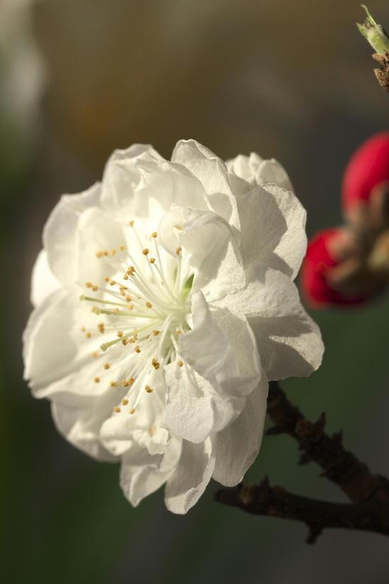 咲き分けの桃-2