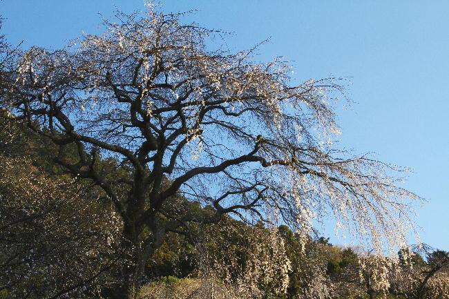 身延の枝垂れ桜-1