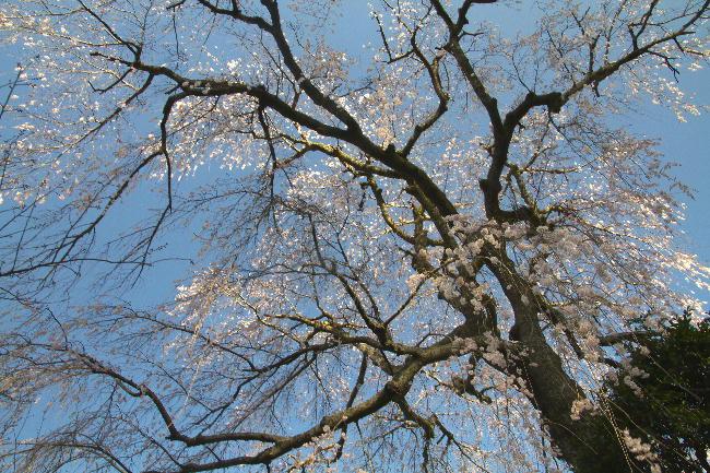 身延の枝垂れ桜-2