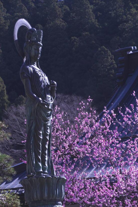 身延の枝垂れ桜-7