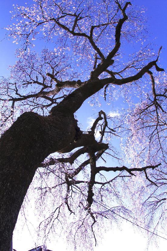 身延の枝垂れ桜-4