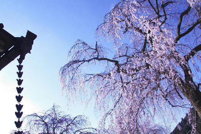 身延の枝垂れ桜-6