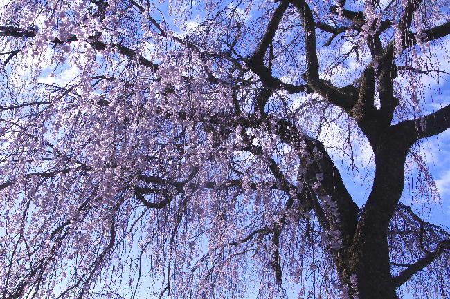 身延の枝垂れ桜-3
