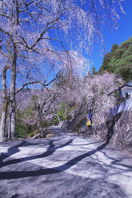 身延の枝垂れ桜-10