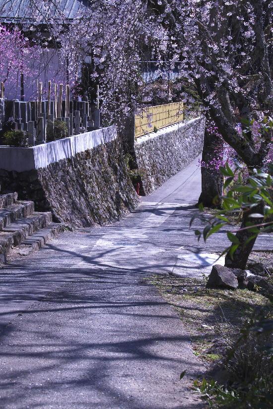 身延の枝垂れ桜-11