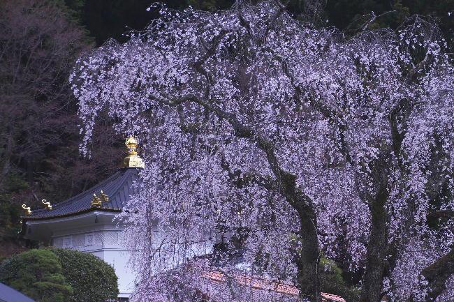 身延の枝垂れ桜-12