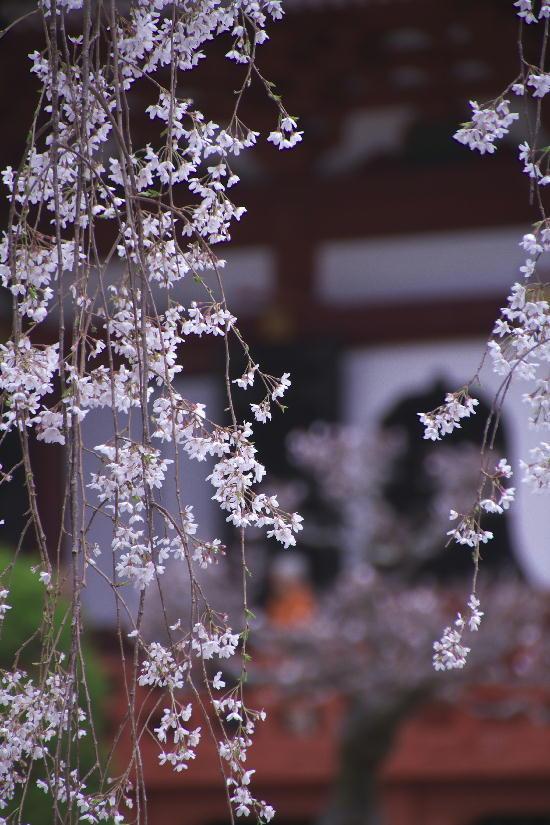 身延の枝垂れ桜-13