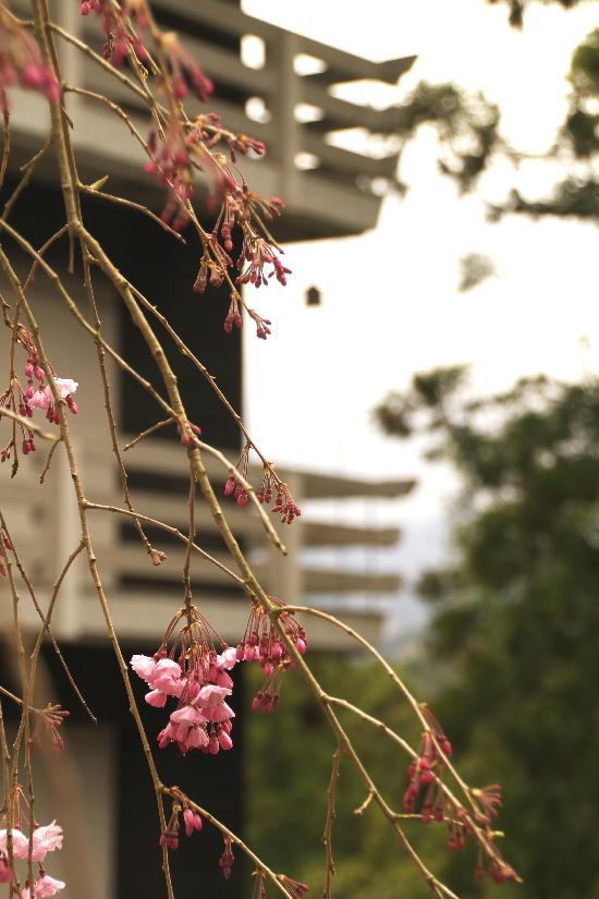 身延山の枝垂れ桜-14
