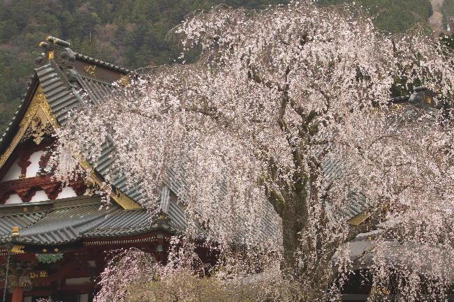 身延の枝垂れ桜-15