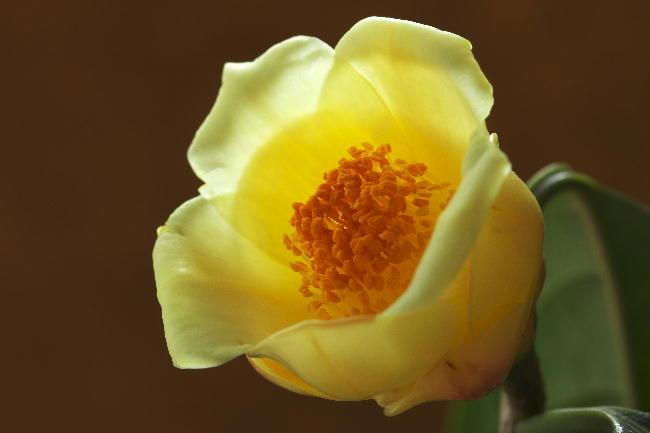 黄色い椿-1