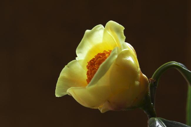 黄色い椿-2
