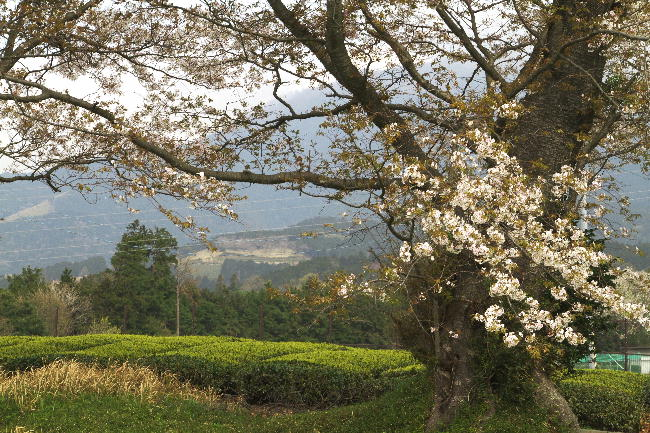 赤野観音-2桜